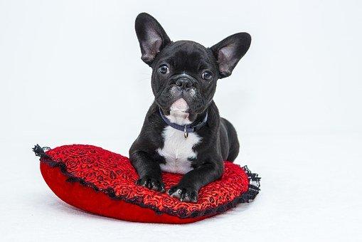 Bulldog, Puppy, Dog, Pet, Sweet, Black