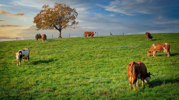 Cows, Pasture, Grazing, Hill, Grass